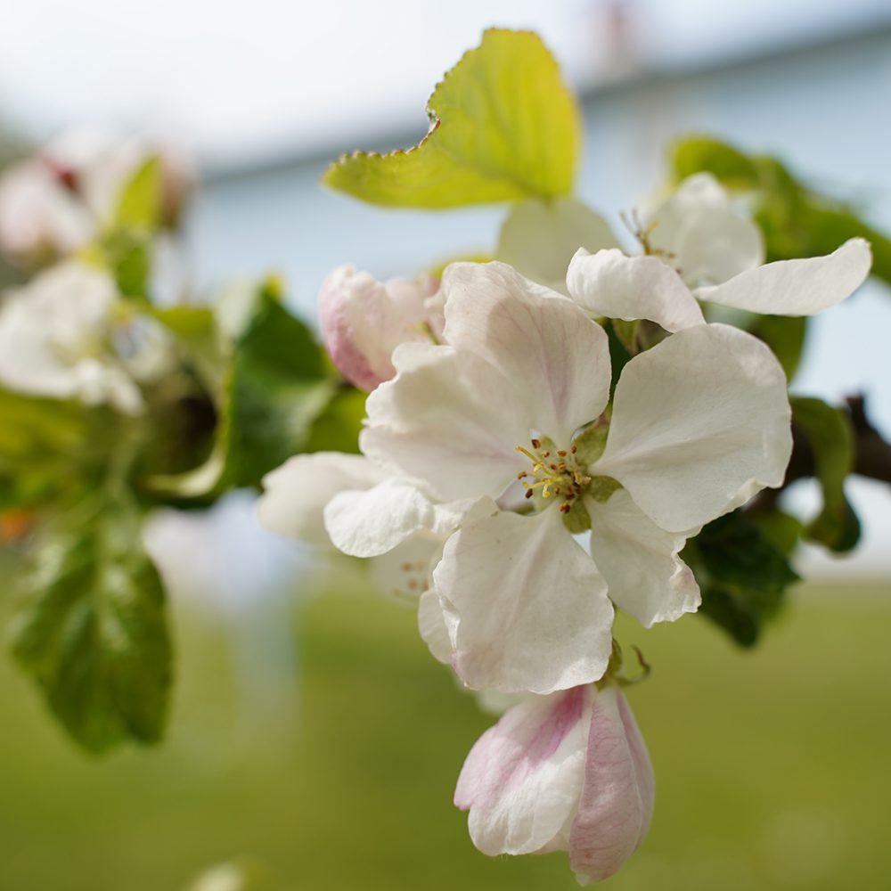 Blüte eines Apfelbaums