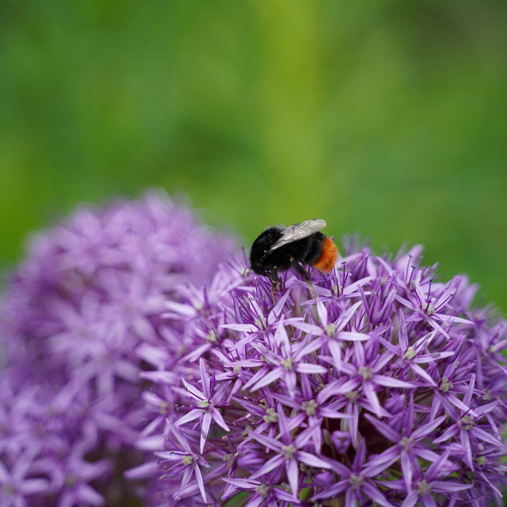 Photography - Portfolio_Hummel auf Blüte des Riesen-Lauchs