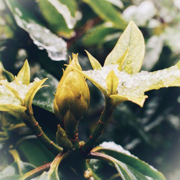 Philodendron im Schnee