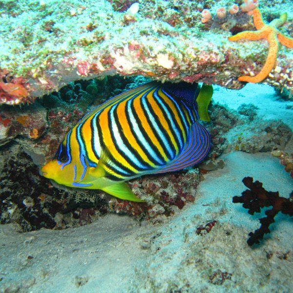 Malediven_Pfauenkaiserfisch