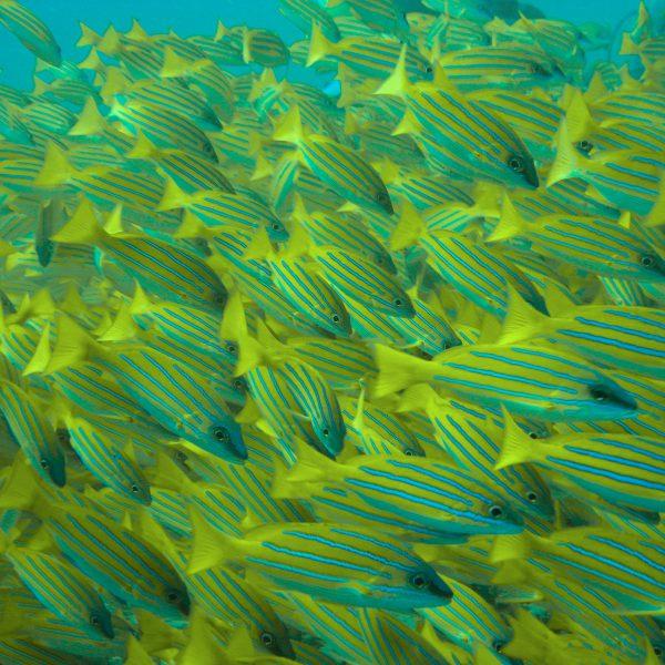 Malediven_Blaustreifen-Schnapper