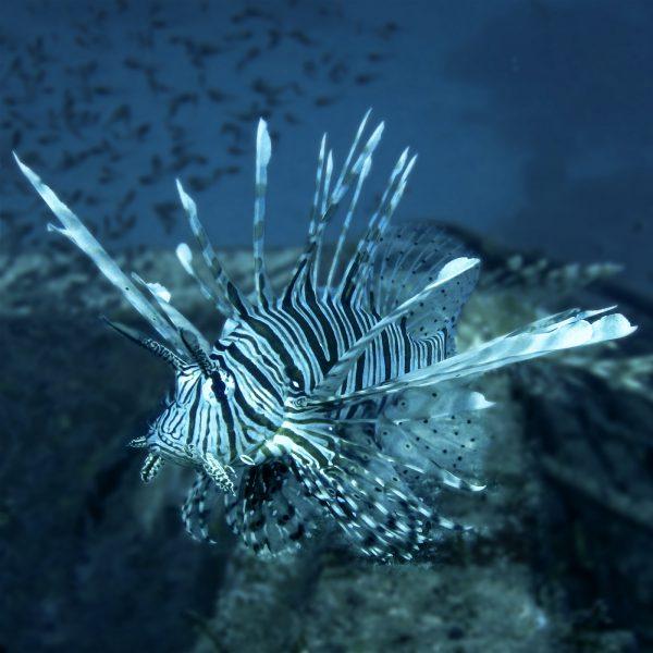 Rotes Meer_Feuerfisch