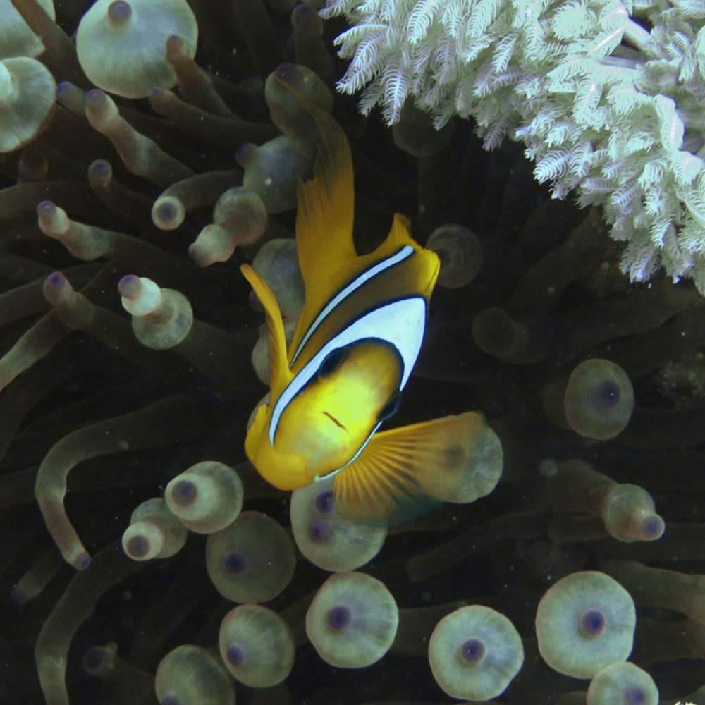 Rotes Meer_Anemonenfisch