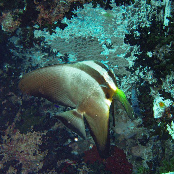 Rotes Meer_Fledermausfisch