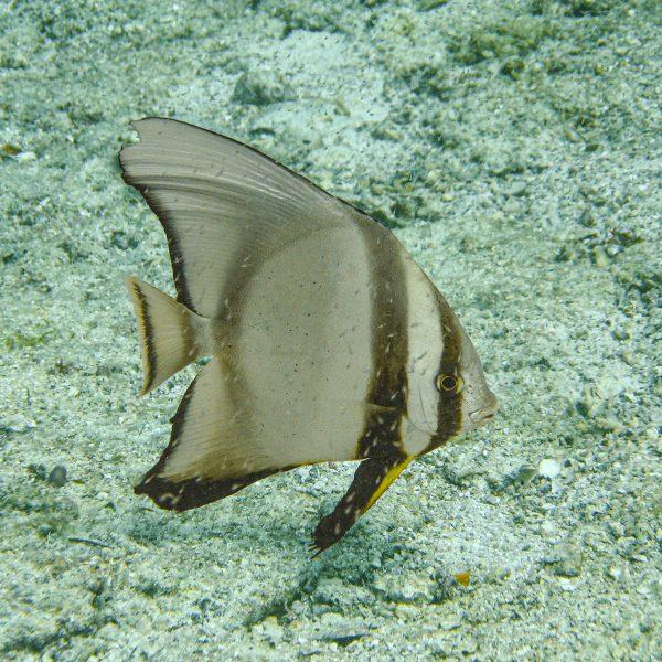 Seychellen_Fledermausfisch
