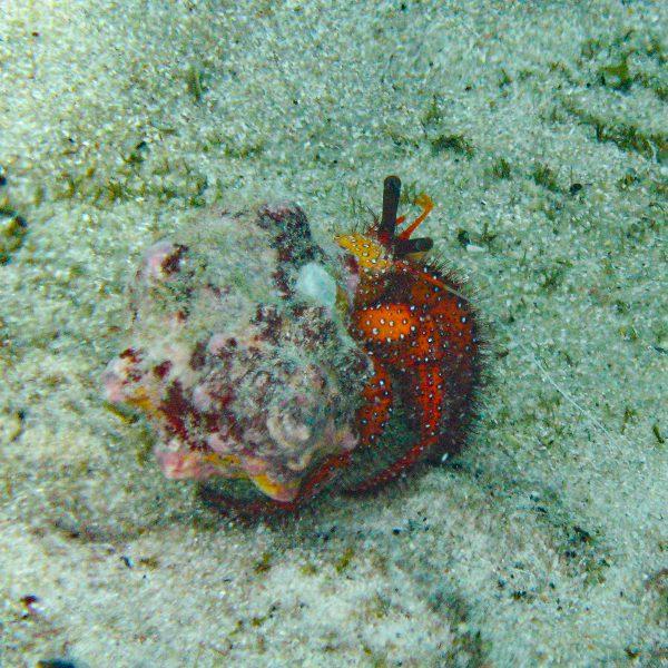 Seychellen_Weißflecken-Einsiedler-Krebs